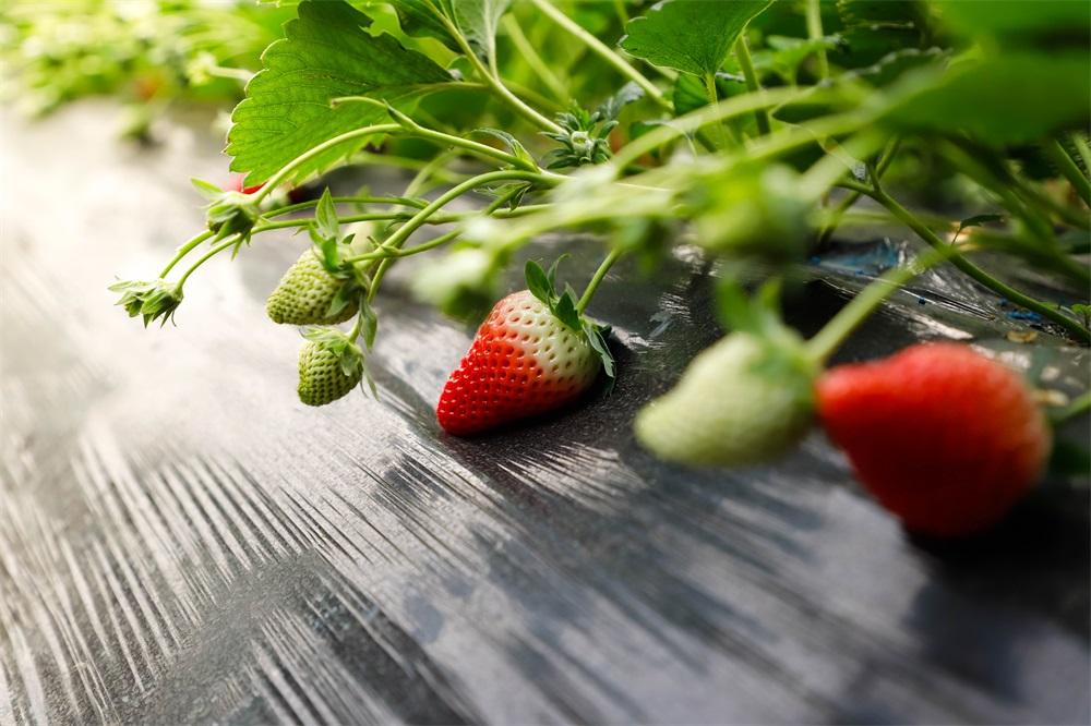 聊城:新鲜草莓上市啦!