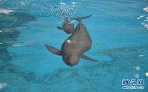 (图文互动)(2)从消失的白�D豚到人工繁殖江豚――三个故事见证长江生态保护变迁