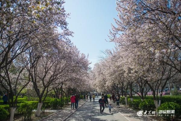 济南校园春色大PK,许多市民被校园景色吸引
